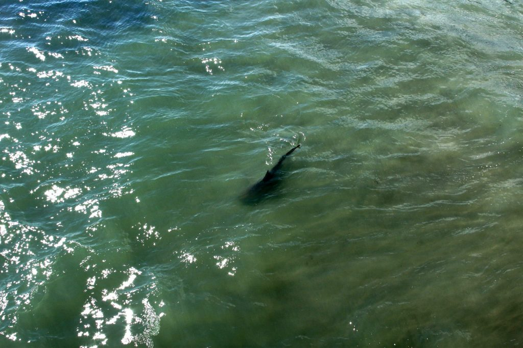 Myrtle beach shark fishing spots recommended bait setups for Myrtle beach pier fishing report